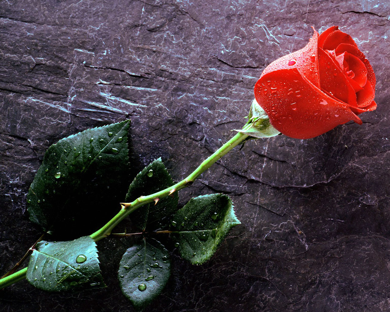 http://art-apple.ru/albums/flowers/hi/True_Love_Forever,_Red_Rose.jpg
